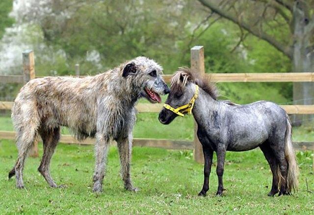 El caballo mas diminuto de Gran Bretaña junto a Fergus el lobero