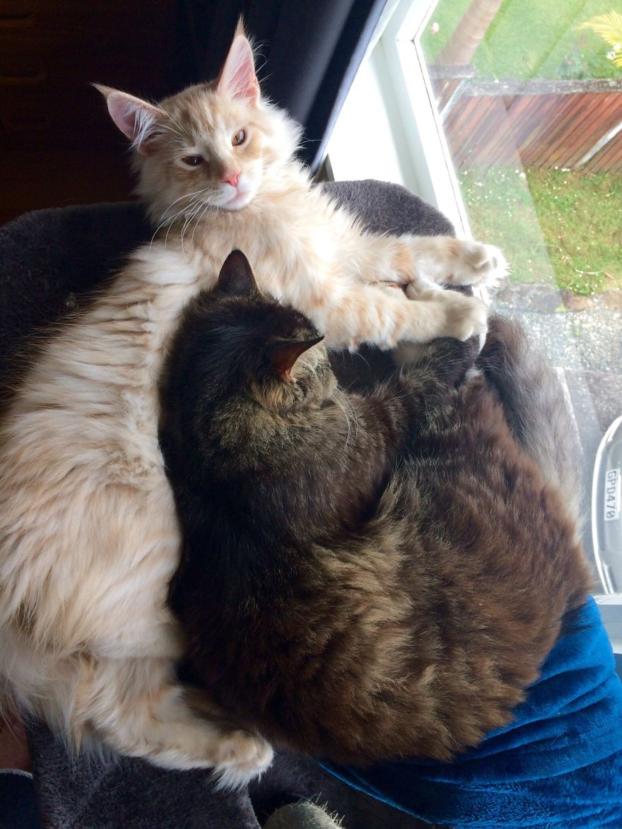 6d96d88efc 90 Adorable Maine Coon Kittens That Will Grow Into The Furriest ...