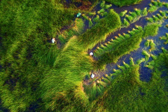 Cosechando hierba, por Tuan Nguyen