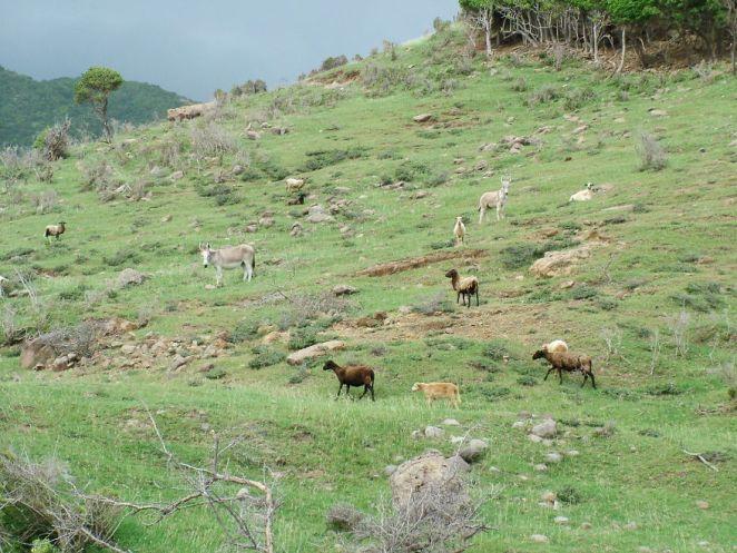 Escaped Livestock Denuding Plant Life
