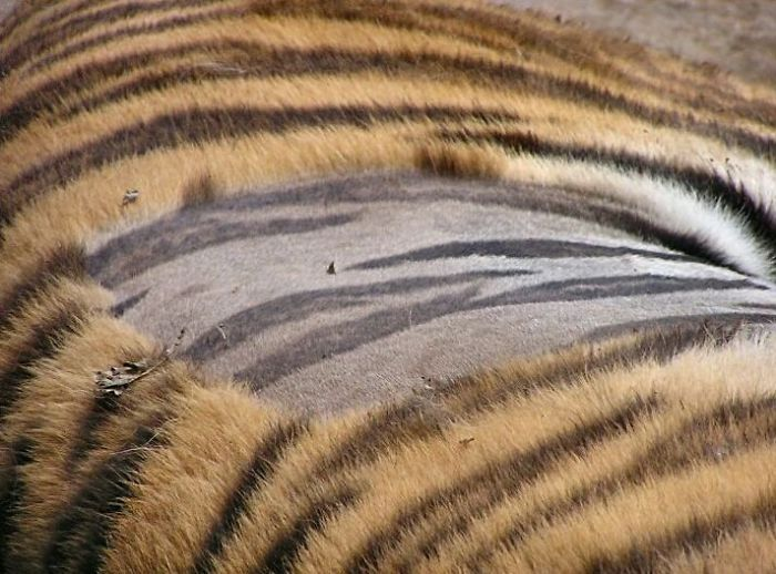This Is What A Tiger's Skin Looks Like When It's Shaved