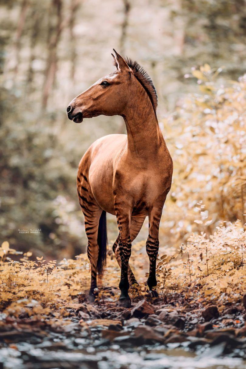 carinamaiwald zorse 2937 5d0b3578bd0fa  880 - Conheça um híbrido de Zebra com Égua