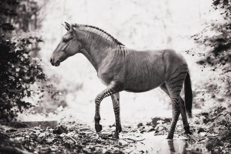 carinamaiwald zorse 2975 5d0b358db70ff  880 - Conheça um híbrido de Zebra com Égua