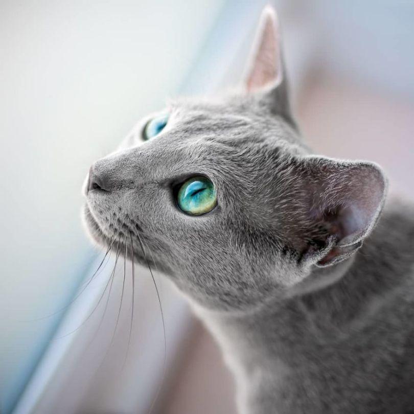 Russian blue cats share with over 122000 followers on instagram their mesmerizing green eyes 5d3825f60e0a4  880 - Olhar felino: Gatos lindos têm olhos hipnotizantes