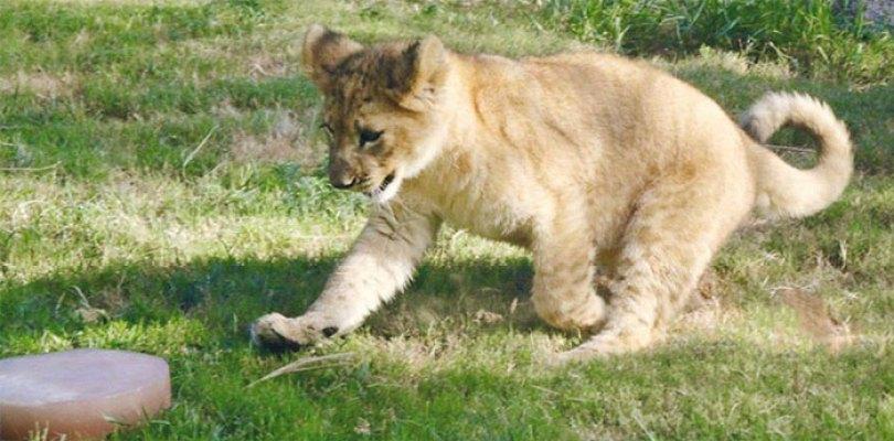 lion king live action baby simba bahati dallas zoo 10 1 - Conheça a Leoa de verdade que deu origem ao pequeno Simba
