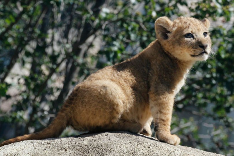 lion king live action baby simba bahati dallas zoo 10 14 5d38003180f78  700 - Conheça a Leoa de verdade que deu origem ao pequeno Simba