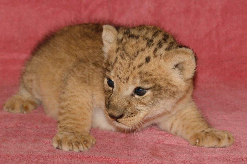 lion king live action baby simba bahati dallas zoo 10 4 5d380020b5b48  700 - Conheça a Leoa de verdade que deu origem ao pequeno Simba