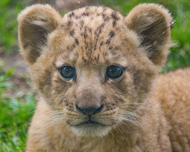 O zoológico de Dallas enviou à Disney um vídeo de Bahati, o filhote de leão, fazendo tudo, desde caminhar até beber leite