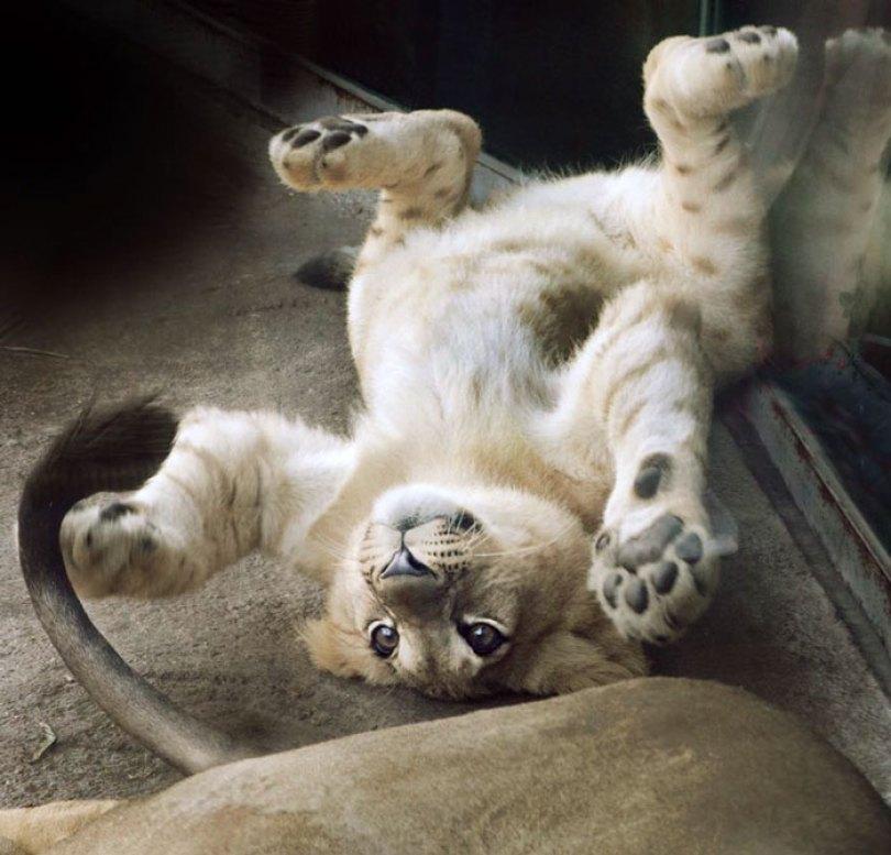 lion king live action baby simba bahati dallas zoo 4 5d37ffd16d92b  700 - Conheça a Leoa de verdade que deu origem ao pequeno Simba