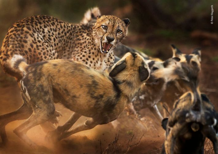 """""""Big Cat And Dog Spat"""" By Peter Haygarth, UK, Behaviour: Mammals, Highly Commended 2019"""