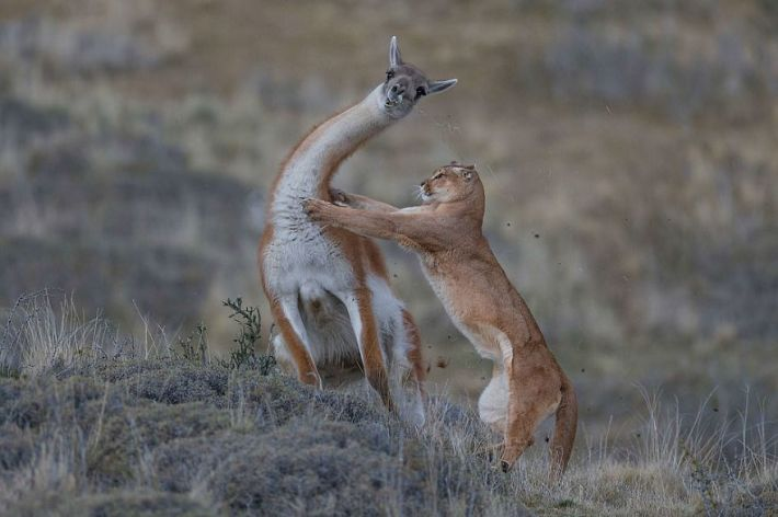 """The Equal Match"" By Ingo Arndt, Germany, Behaviour: Mammals, Joint Winner 2019"