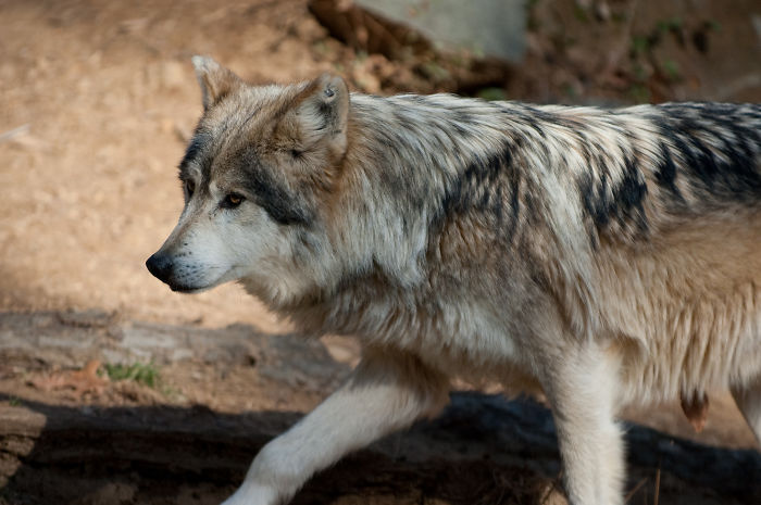 """There Is No Such Thing As An """"Alpha"""" In A Wolf Pack"""