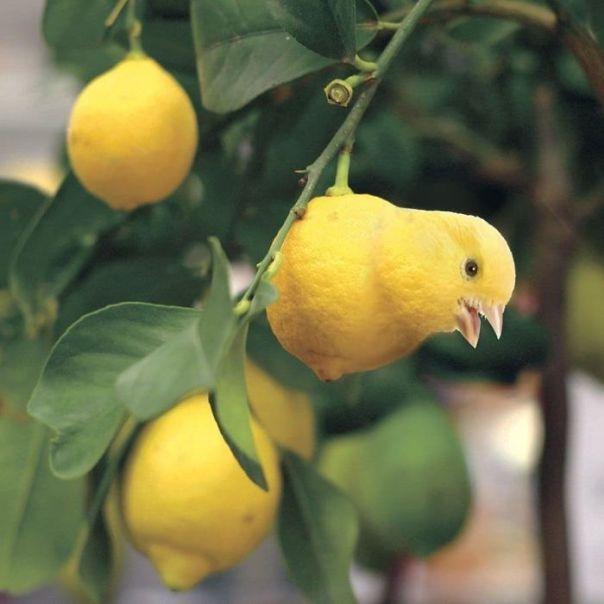 Citrusongbird