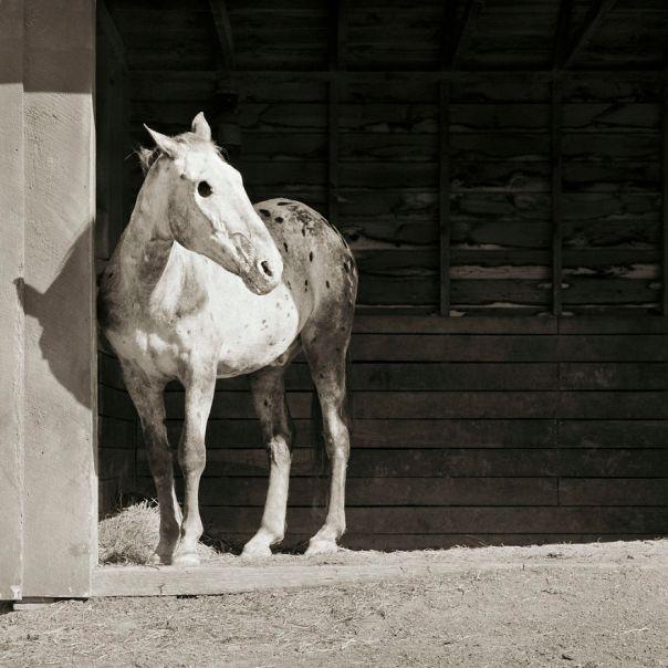 Buddy, Appaloosa Horse, Age 28