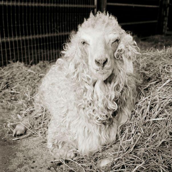 Melvin, Angora Goat, Age 11+