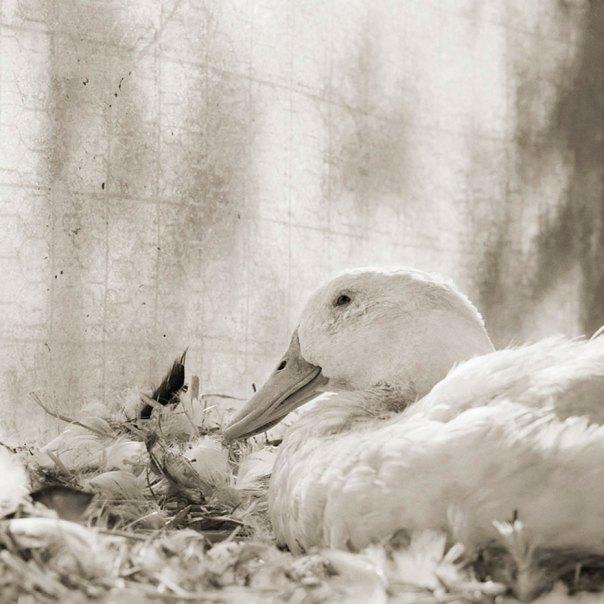 Bobby, White Domestic Duck, Age 11