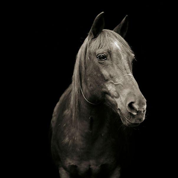 Pumpkin, Morgan Arabian Horse, Age 28