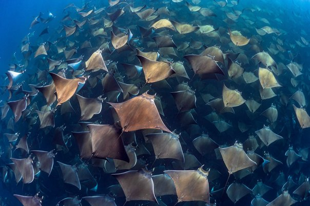 """Honorable Mention - Jay Clue - Marine Life Behavior Category - """"Gigantic Aggregation Of Munk Devil Rays In Baja California Sur"""""""