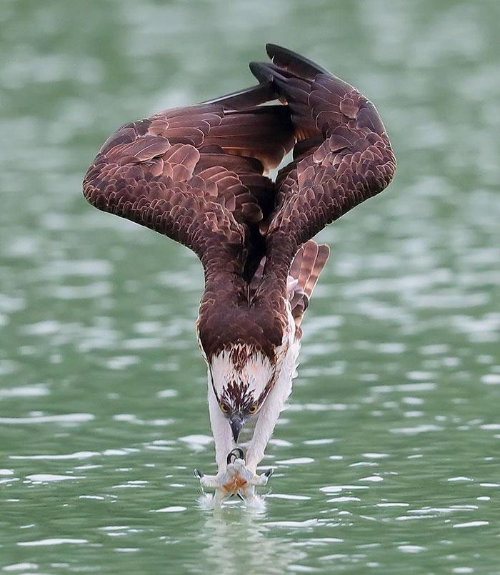 osprey hunt dive photos chen chengguang 11 5e0ef14d0a6c6  700 - Fotógrafo de Taiwan tira fotos artísticas de pássaros de caça e o resultado é lindo