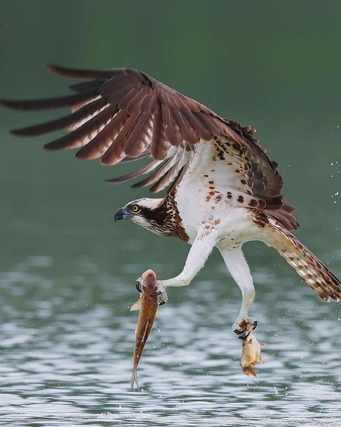 osprey hunt dive photos chen chengguang 15 5e0ef15574045  700 - Fotógrafo de Taiwan tira fotos artísticas de pássaros de caça e o resultado é lindo