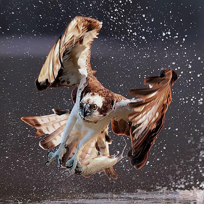 osprey hunt dive photos chen chengguang 2 5e0ef13c12282  700 - Fotógrafo de Taiwan tira fotos artísticas de pássaros de caça e o resultado é lindo