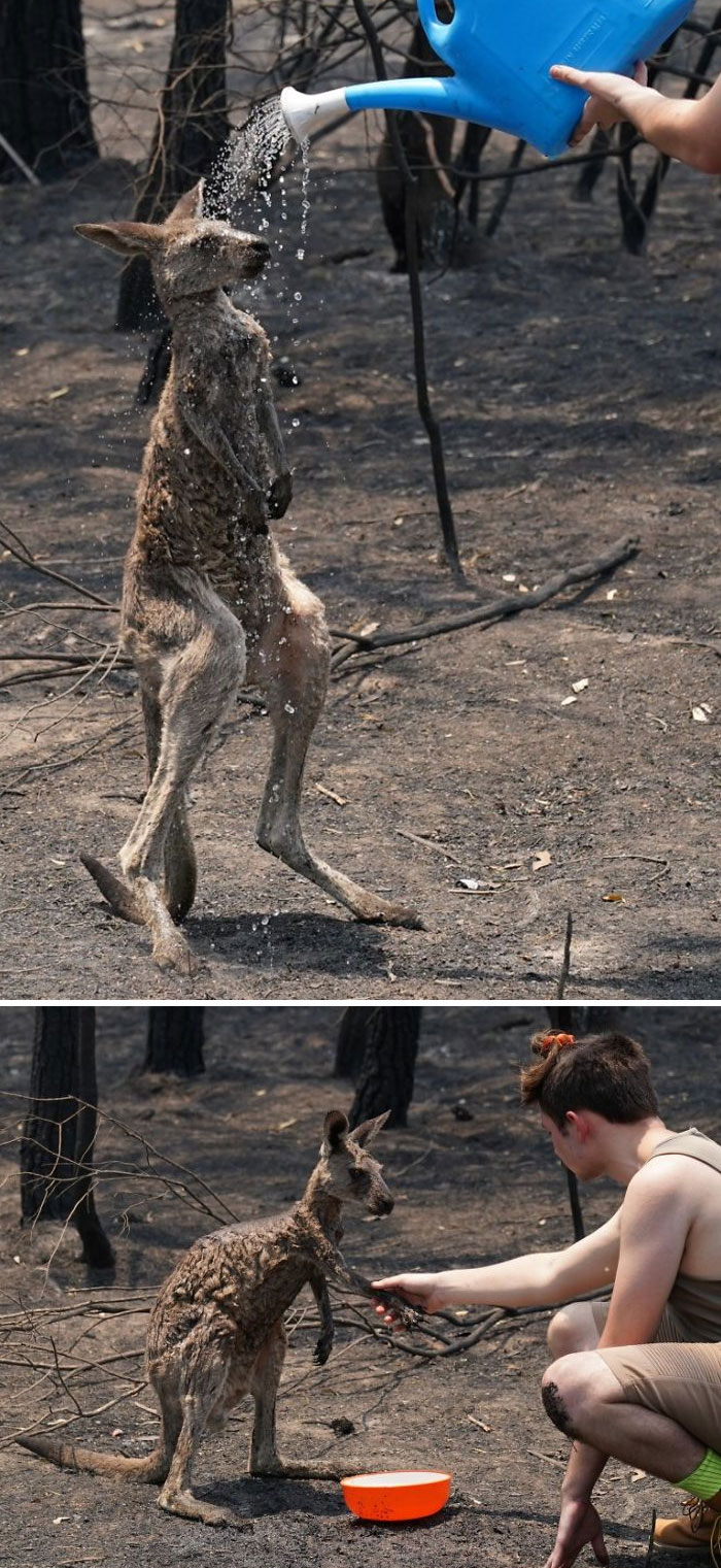 The Kangaroo Is Drenched In Water After Approaching A Human For Help