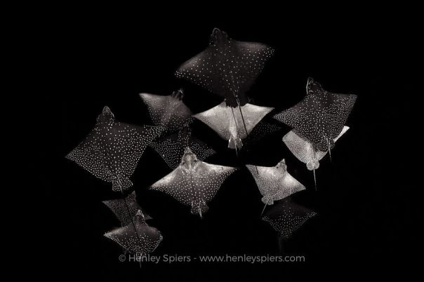 Black & White Category: 'Constellation Of Eagle Rays' By Henley Spiers, UK