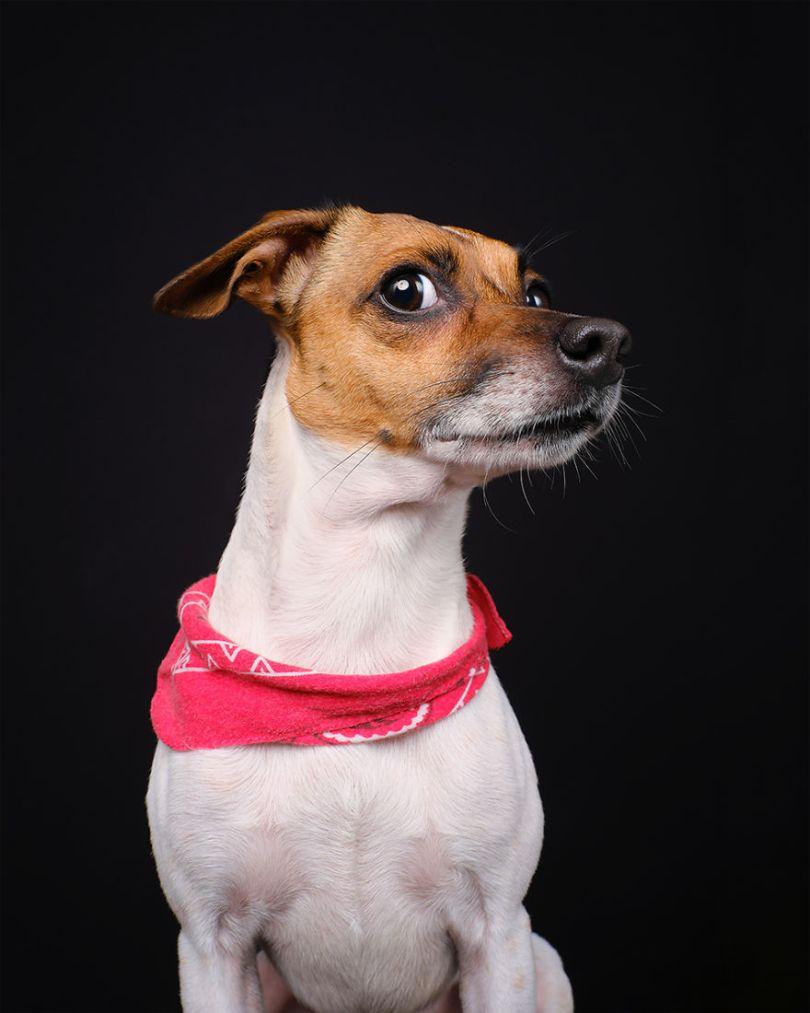 Chet Baker, o cão de fazenda sueco dinamarquês
