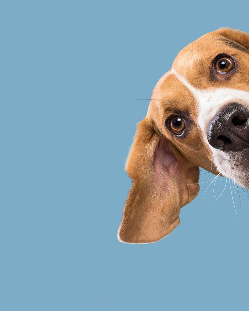 Ernie, o Beagle