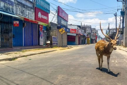 A Wild Deer, From A Herd Used To Be Fed By The Local Population, Roams In Sri Lanka