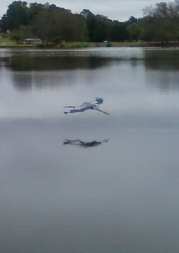 This Freaky Flying Ghost Child Is Actually A Blurred Great Blue Heron
