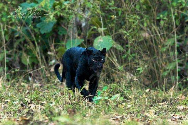 Leopardo melanistico