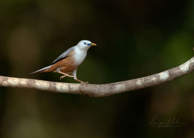 Starling de Blyth