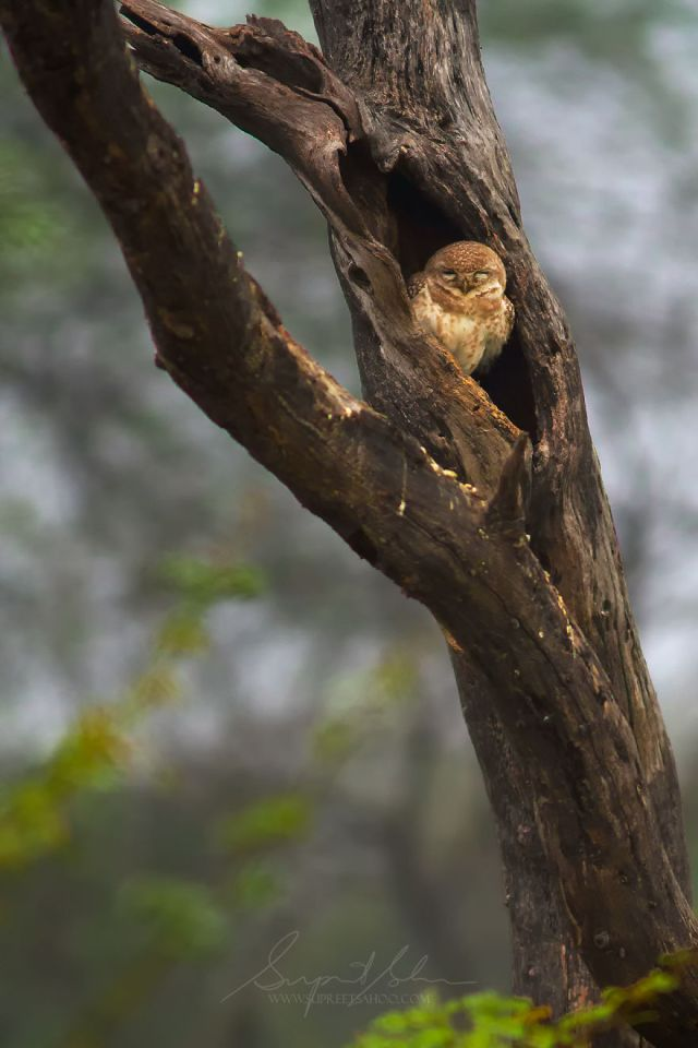 Owlet manchado