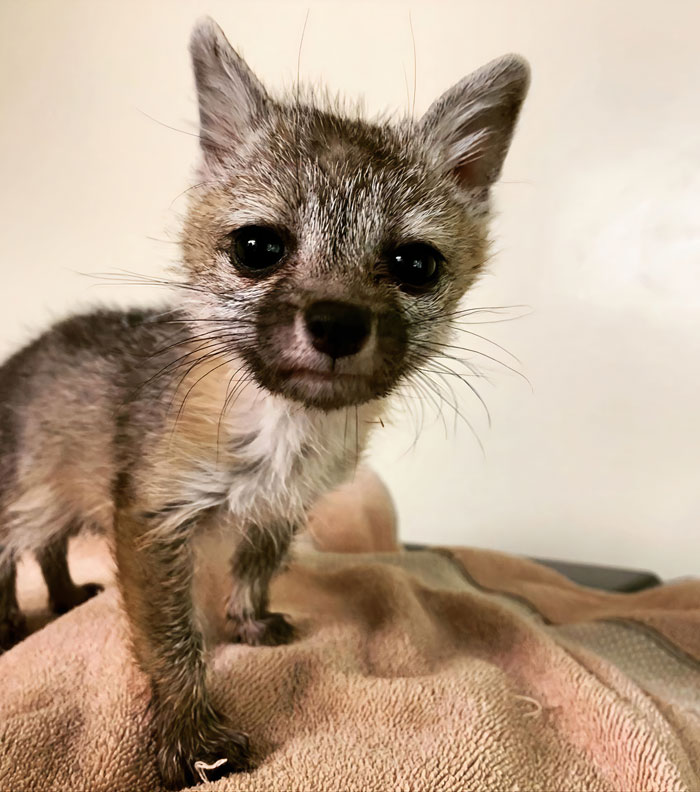 This Dehydrated Baby Fox Confused A Family's Dog For Its Mom And Followed Them Home, Got Rescued And Nursed Back To Health