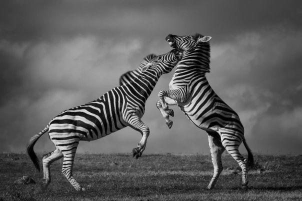 Zebra Dance, Addo, South Africa