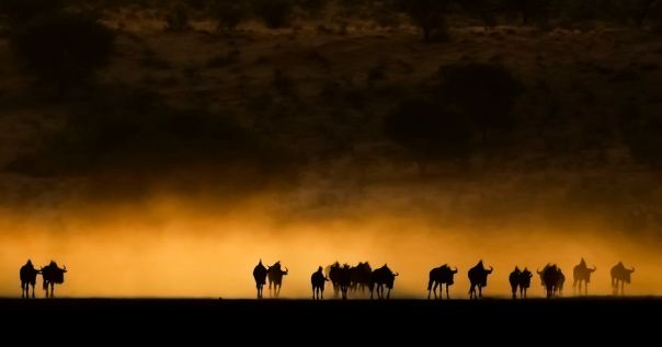 Wildebees Trek, Kalahari