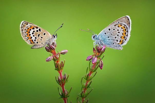 Highly Commended, 'Silver-Studded Blues On Heather' By Qasim Syed