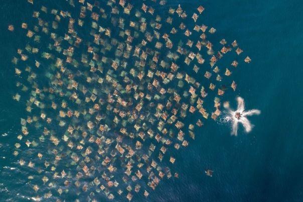 Wildlife Category Runner-Up: Munk's Mobula Rays Schooling