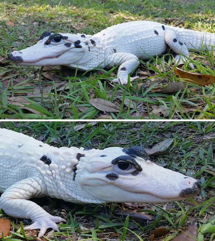 Just When You Thought You'd Seen Everything - Here's Snowball, An Extremely Rare Leucistic Alligator