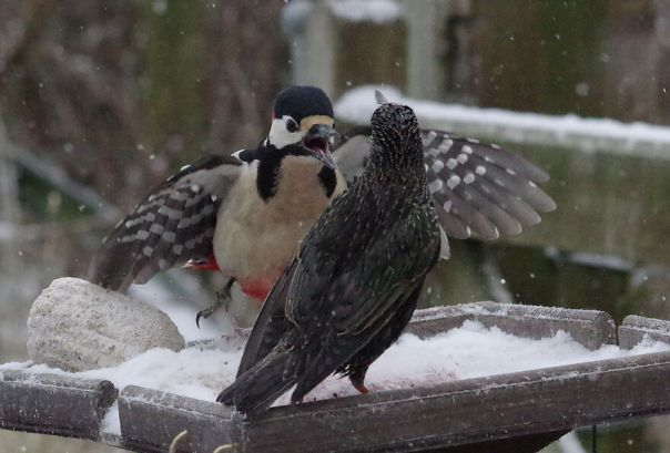 Greater-Spotted Woodpecker Squaring Off To A Starling