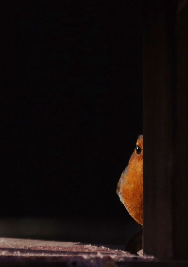 Who Watches The Watcher? This Robin Watched Me While I Was Putting The Bird Table Together Then Stood On The Table Watching Me Watching Him