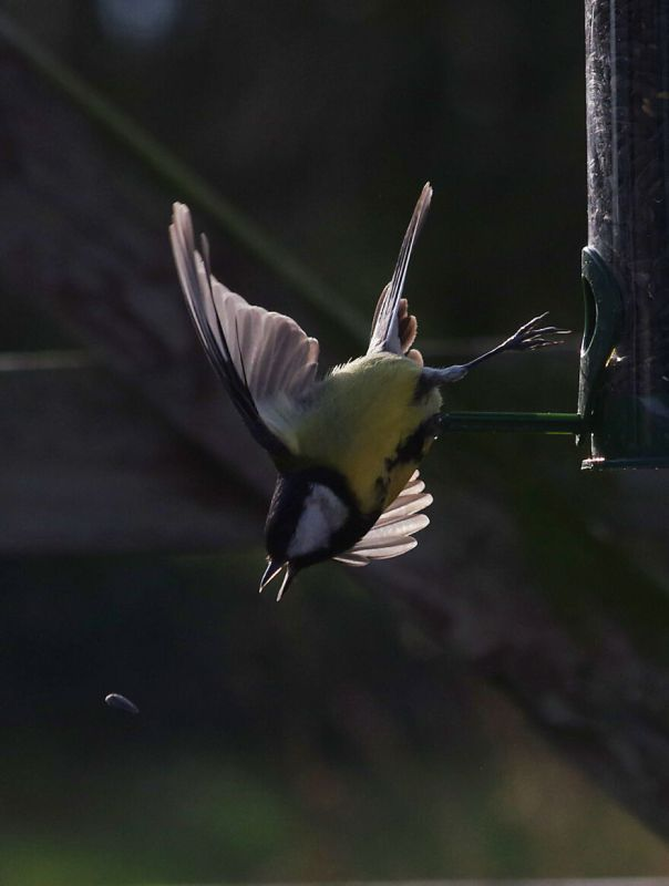 Great Tit Chasing After A Sunflower Seed It Just Dropped