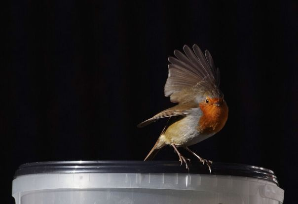Robin Trying To Take The Lid Of The Food Tub