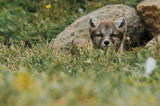 Arctic Fox Pup