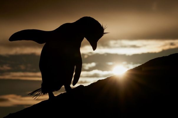 Southern Rockhopper Penguin By Mark Sisson