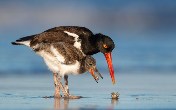 American Oystercatcher By James Wilcox