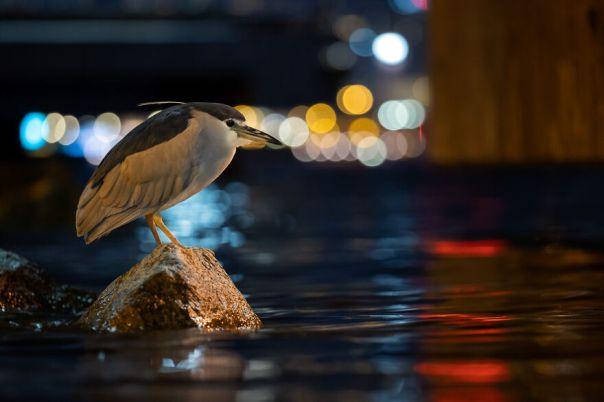 Black-Crowned Night-Heron By Daphne Wong