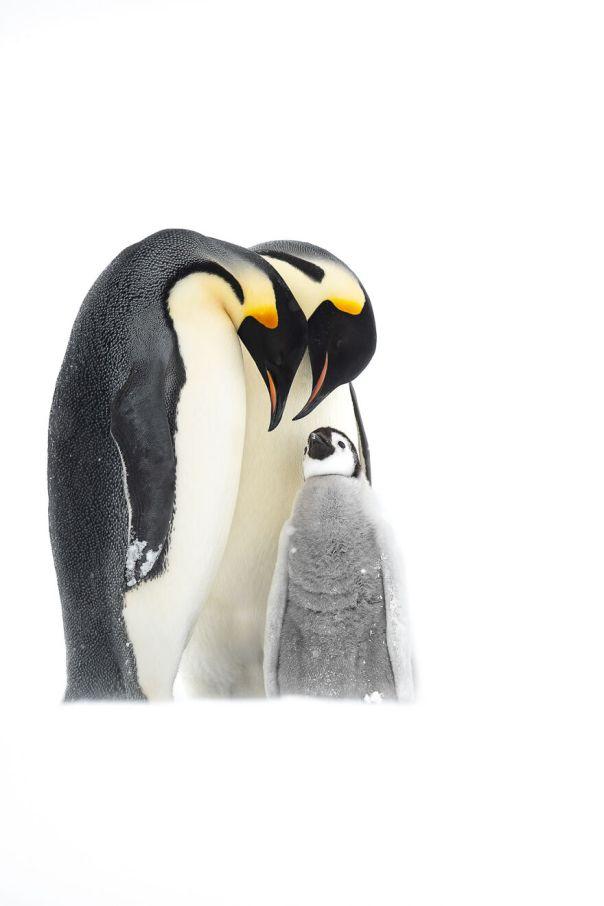 Emperor Penguins By Thomas Vijayan