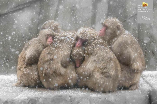 Snow Macaques By Chin Leong Teo. Silver In Nature